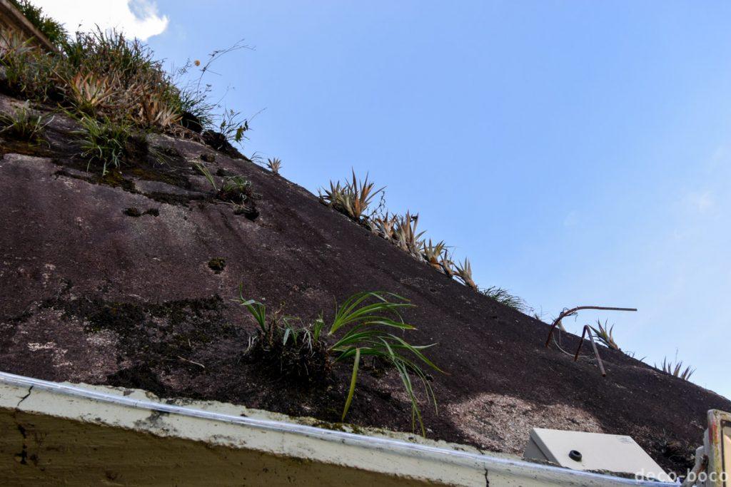 悪魔の岩植物